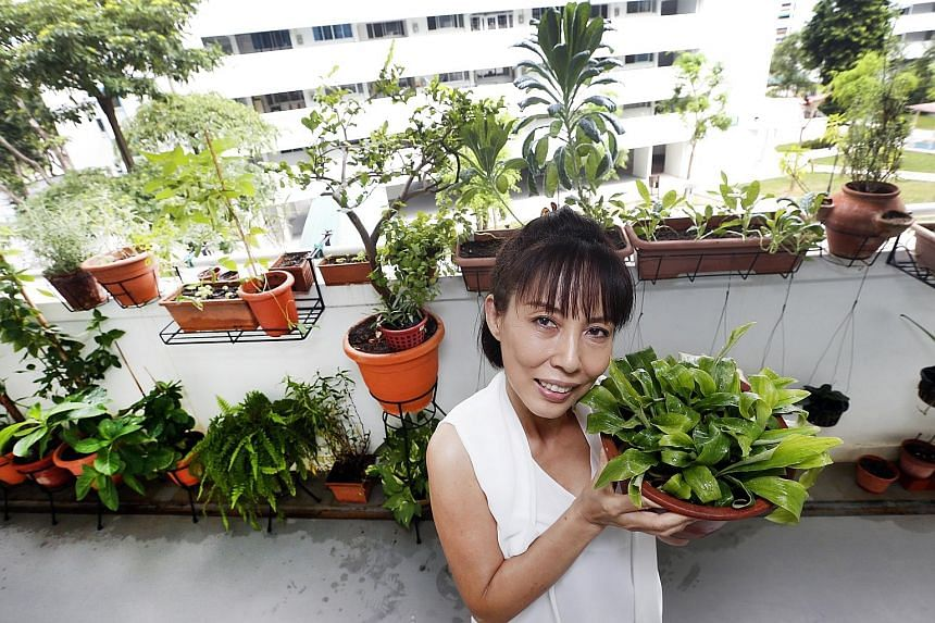 Ms Kit Yong with her Sand Ginger herb. She has about 80 pots of plants, and she spends about 15 to 20 minutes watering them every morning. Passion fruit (top) and blackberry (above) plants can be found along the corridor outside Ms Yong's flat in Tam
