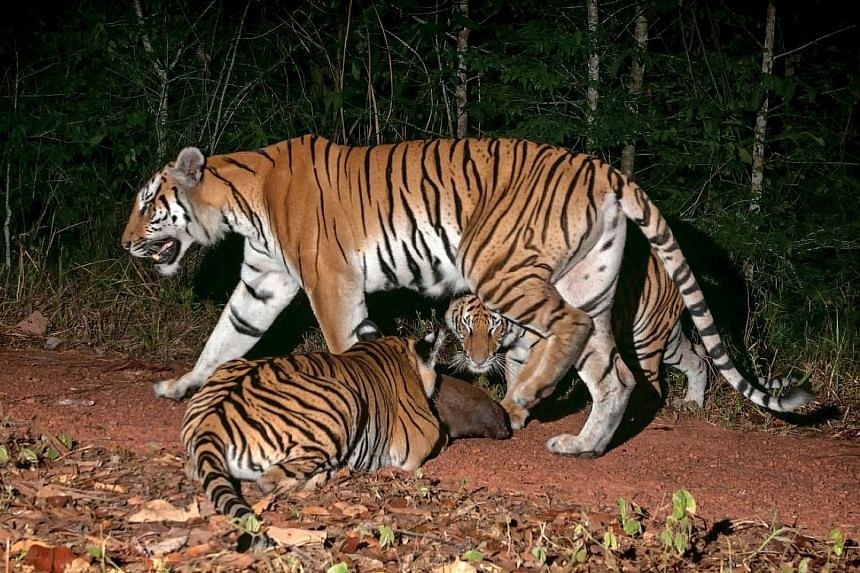 Images of some tigers, including six cubs, captured by camera traps in an eastern Thai jungle throughout last year confirm the presence of what is only the world's second known breeding population of the endangered Indochinese tiger.