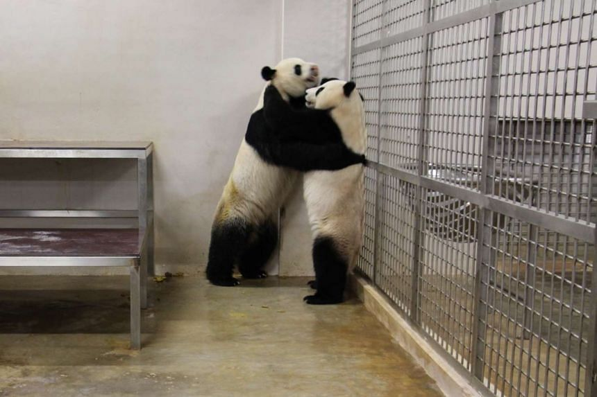 Kai Kai and Jia Jia in a courtship 'dance' before coming together to mate.