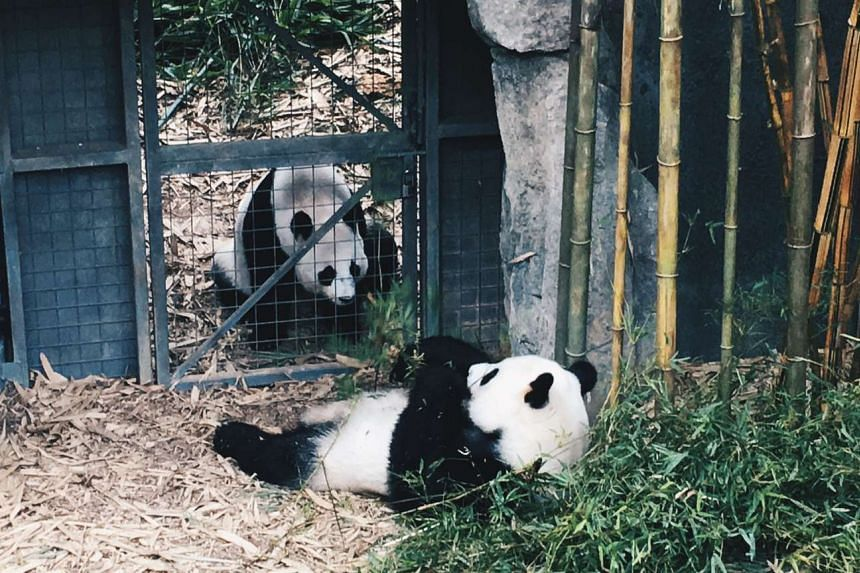 Jia Jia (behind the gate) and Kai Kai enjoying each other's company.