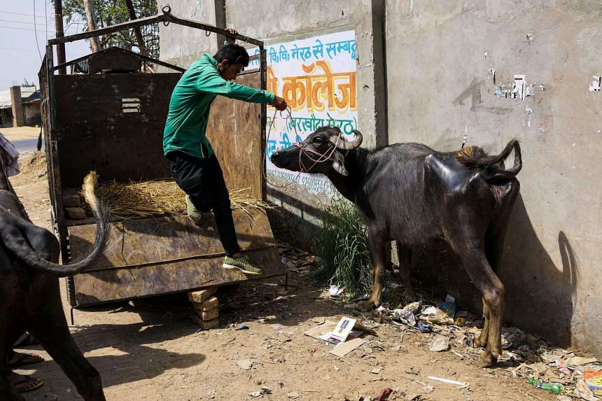 An Indian man unloads a buffalo near an abattoir in Meerut on March 25, 2017. Cows are considered sacred by Hindus.