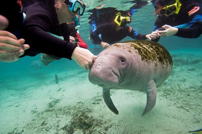 Snorkelers interact with a Florida Manatee inside of the Three Sisters Springs in Crystal River, Florida.