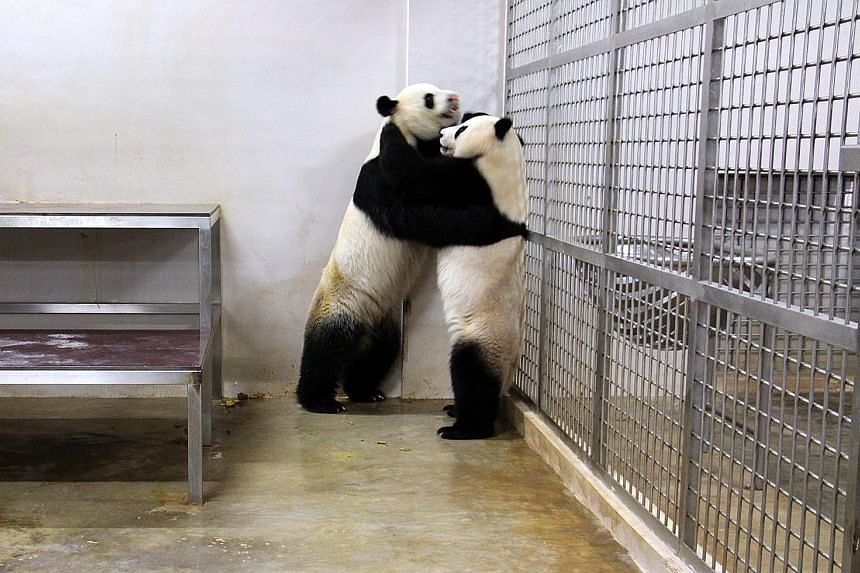Giant pandas Kai Kai and Jia Jia engaging in a courtship dance yesterday in their den at the River Safari. Keepers and veterinarians are hoping they will mate successfully this season, after having failed to do so in the previous two years. This time