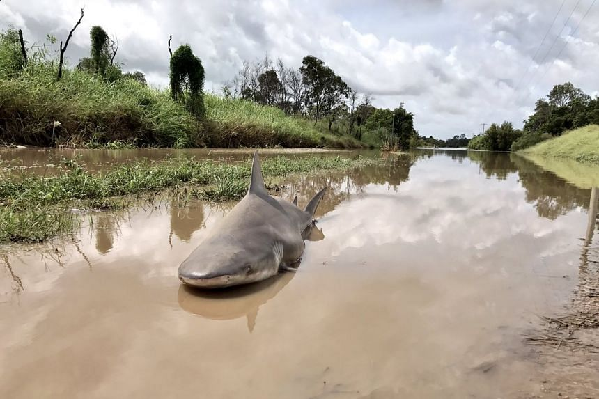 Journalist Philip Calder found the bull shark washed up on a road and tweeted out a photo (above).
