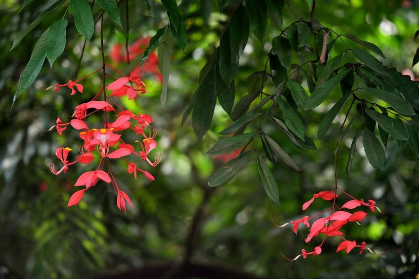 Flowers of Pride of Burma (Amherstia nobilis) at SPH Walk of Giants at Singapore Botanic Gardens on March 30, 2017.