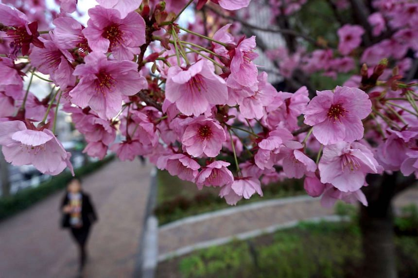 This picture taken on March 29, 2017, shows cherry blossoms in Tokyo.