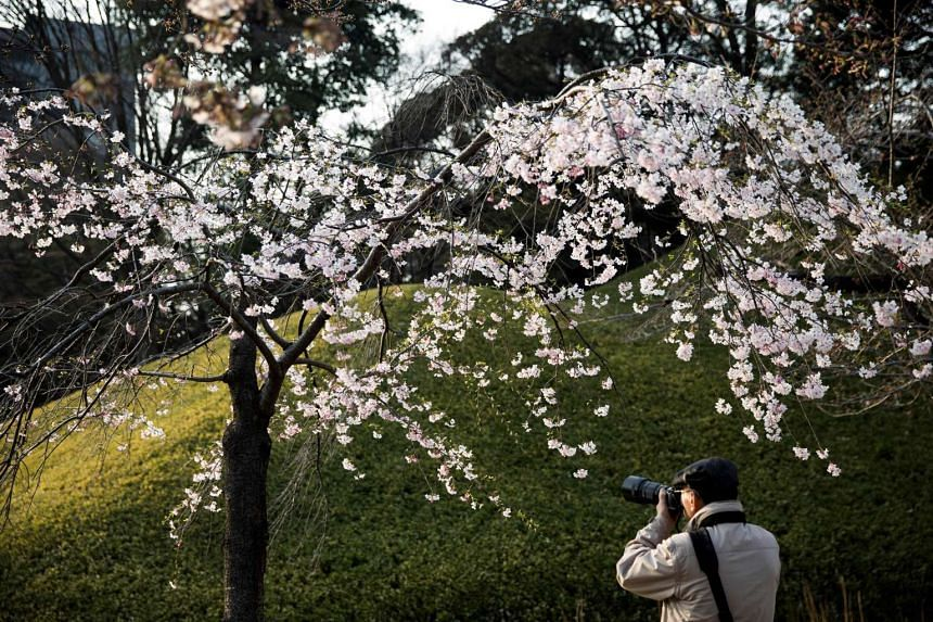 A man taking pictures of cherry blossoms in a park in Tokyo on March 30, 2017.