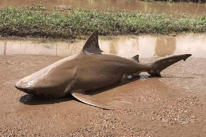 A bull shark found lying on a road near the town of Ayr in Queensland after Cyclone Debbie slammed through the state.
