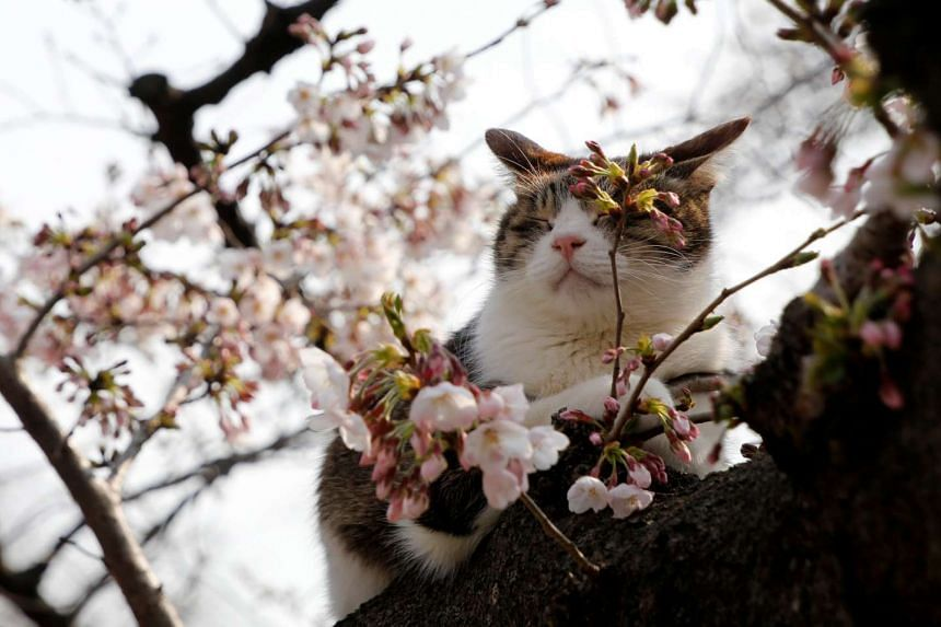 A cat on a cherry blossom tree at a park in Tokyo, Japan, on March 30, 2017.