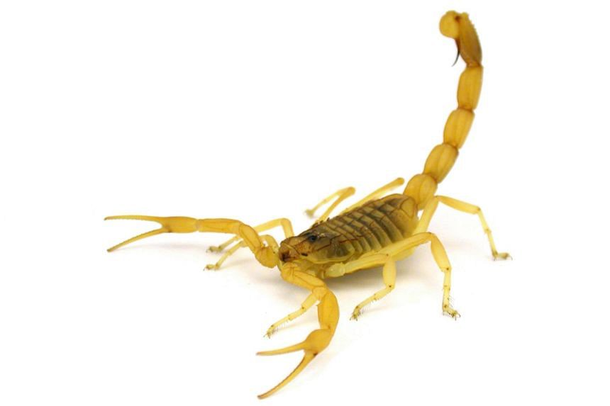 Researchers at the University of Porto have captured video images of the death stalker scorpion (pictured) as it attacks with its stinger.