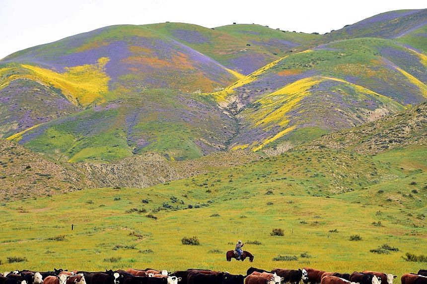 Cattle grazing against the backdrop of hills blanketed by blue, yellow and orange wildflowers on Thursday at the Carrizo Plain National Monument in California, about 250km north-west of Los Angeles. After years of drought in the area, an explosion of