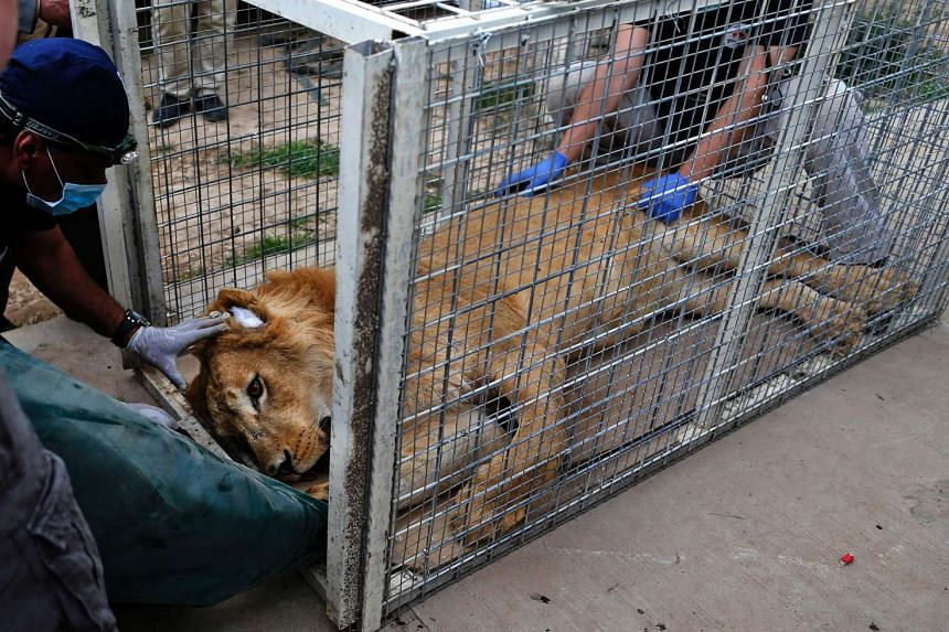 """Members of the international animal welfare charity """"Four Paws"""" treating Simba, a lion abandoned at Muntazah al-Nour zoo in Mosul, on March 28, 2017."""