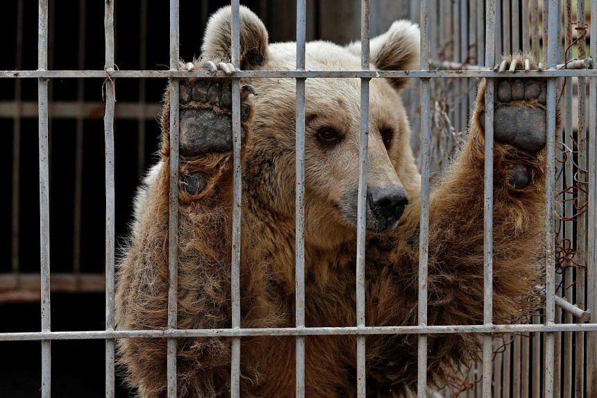 Lula, an abandoned bear, in a cage at Muntazah al-Nour zoo in Mosul on March 28, 2017.