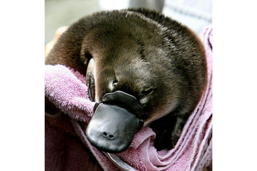 """This file photo taken on Feb 16, 2006, shows a platypus baby or """"puggle"""" held before being transferred back to its burrow after emerging for the first time at Sydney's Taronga Zoo."""
