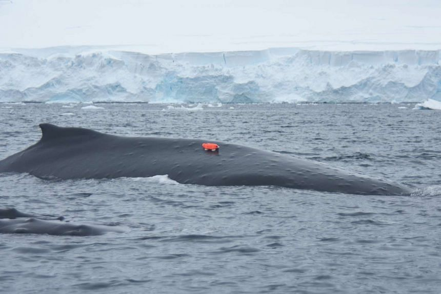 A humpback whale with a whale camera tag at an undisclosed location in Antarctica.