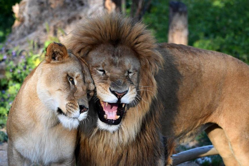 A lion and a lioness are seen at the Belvedere Zoo, which was closed for renovation works following an attack on a crocodile a month earlier, in the capital Tunis on April 13, 2017.