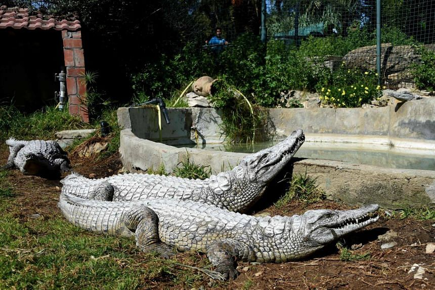 Two crocodiles taking a sun bath at the Park Belvedere in the capital Tunis on March 2, 2017.