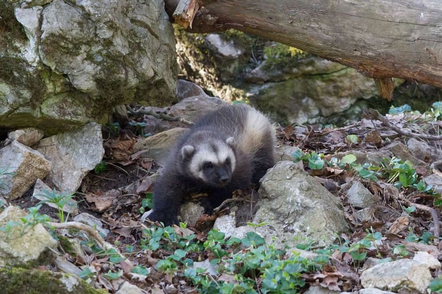 A young wolverine at wildlife park Domaine des Grottes de Han in Han-sur-Lesse, southern Belgium on April 12, 2017.