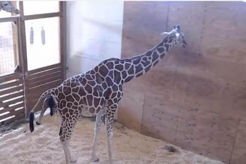 Still grabs from YouTube of 15-year-old giraffe, April, which has given birth at the Animal Adventure Park in Harpursville, New York.
