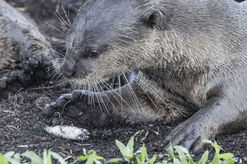 The otter was seen with a fishing hook caught in its front right paw and was limping badly on Sunday (April 16).