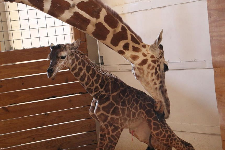 April helps her newly born unamed baby giraffe stand at the Animal Adventure Park, in Harpursville, New York, U.S. April 15, 2017.
