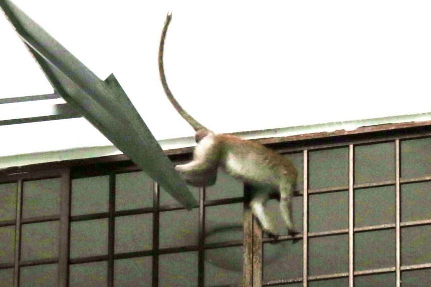 One monkey has been known to enter residents' flats through the windows, stealing food and making a mess in their homes.