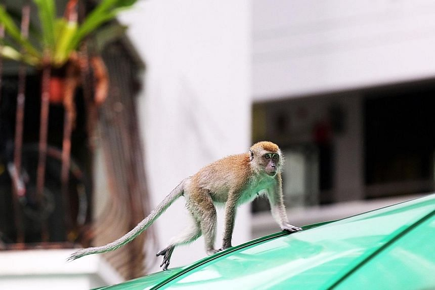 A monkey attacked a Block 471 resident on Sunday, leaving her with a gash on her arm and a bruise on her thigh. PHOTO: STOMP A monkey, believed to be a long-tailed macaque, has been terrorising residents at Segar Road, biting them and stealing their