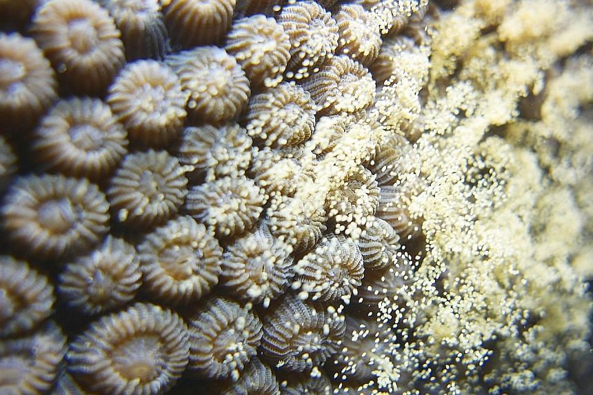 Corals from the genus Acropora reproducing during coral spawning season in Singapore recently. In Singapore, the affair takes place once a year, usually beginning on the third night after the full moon in late March or April.