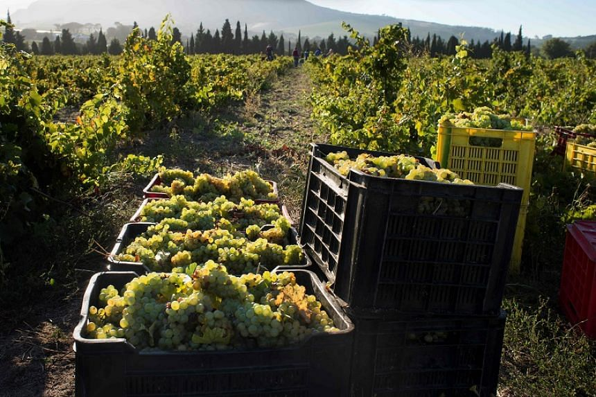 Crates of newly picked Chenin grapes, waiting to be taken for pressing, at the Ken Forrester wine estate, close to Stellenbosch, about 60 km from the centre of Cape Town.