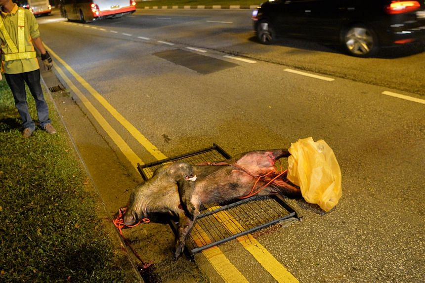 The boar had dashed out into the middle of the road, and the driver could not stop in time.