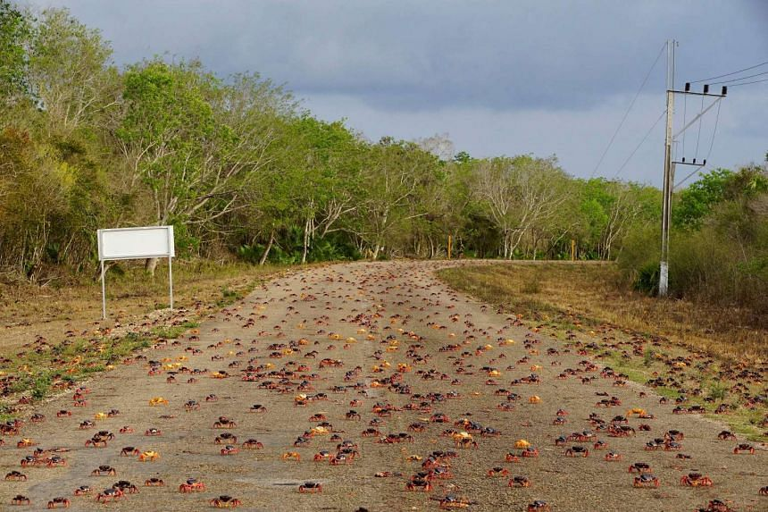 Crabs coming from the surrounding forests cross a highway on their way to spawn in the sea in Playa Giron, Cuba.