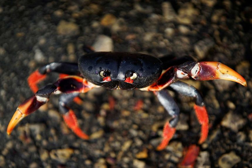 A crab coming from the surrounding forests reacts to the camera on its way to spawn in the sea in Playa Giron, Cuba.