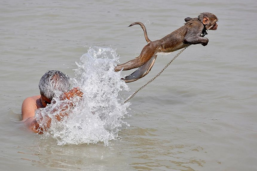 Ramu, a pet monkey, showing off its jumping skills as its handler cools off in the Ganges River, on a hot summer day in Kolkata. India is facing another blazing summer, with the country already in the grip of an extreme heatwave. No lasting relief is