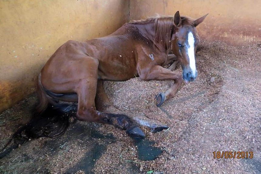 Sharpy was found in poor condition with severe inflammation and infection of the right hind leg.