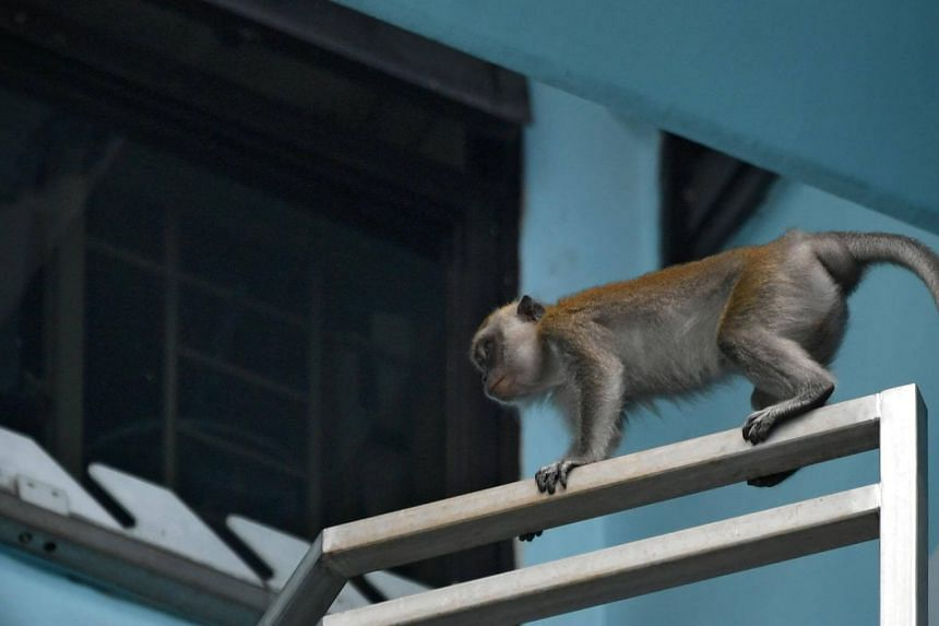 AVA had deployed five cameras at the estate and a nearby park to help catch the monkey.