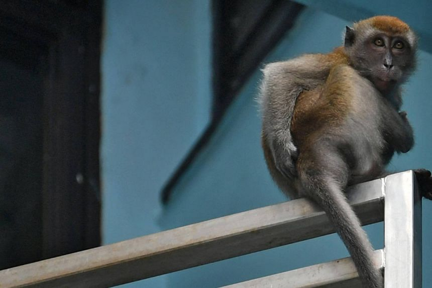 The monkey, pictured here at Segar Road on April 20, had previously evaded capture.