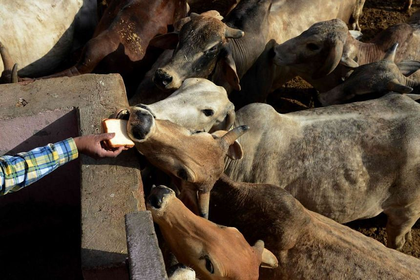 An Indian man offers food to cows at a cow shelter in New Delhi on April 25, 2017.