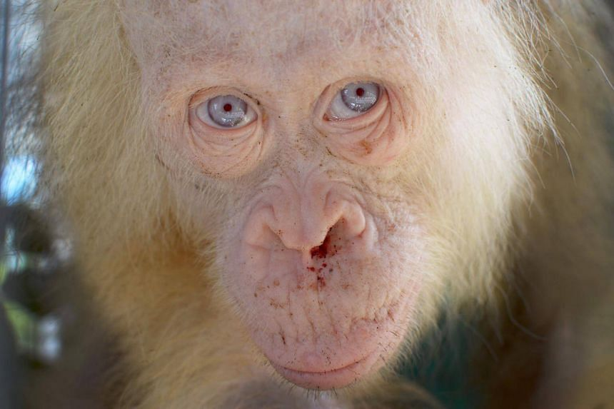 This handout picture taken on April 30, 2017 and released on May 2, 2017 by the Borneo Orangutan Survival Foundation shows a rare albino orangutan that was saved from villagers in Kapuas Hulu, on the Indonesian side of Borneo island.