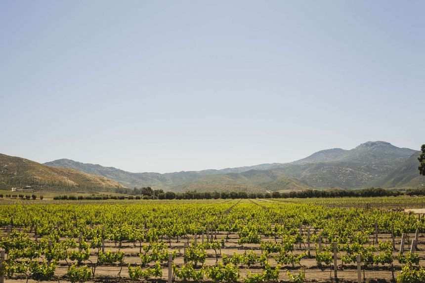 The vineyard at Bruma Valle de Guadalupe, a small resort that is being expanded, in the Valle de Guadalupe wine region of Mexico, April 13, 2017. The stern beauty of this backcountry will seem familiar to visitors of southern Arizona or the Big Bend