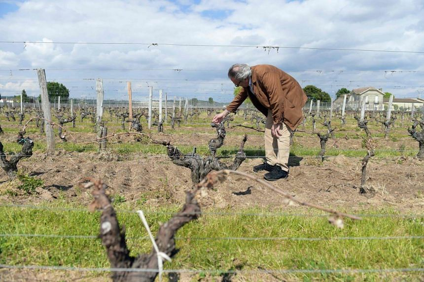 A wine grower checks his vineyards partially destroyed by the frost of late April cold nights in Vignonet, near Saint-Emilion in Bordeaux region on May 3, 2017.