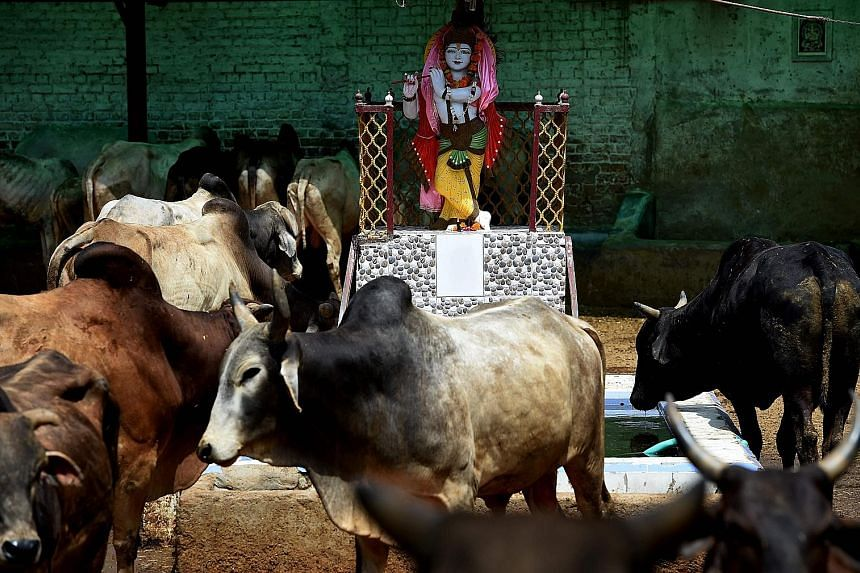 A statue of Hindu deity Lord Krishna at a cow shelter in New Delhi. At such a shelter, there may be hundreds of cows bought or rescued from the streets. Left: Buffaloes being led to an abattoir in Uttar Pradesh, where there are reports that even legi