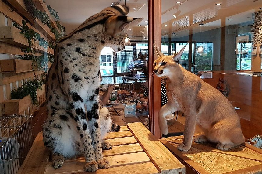 """Animal Cafe co-owner Athit Samatiyadekul says his cafe is not profitable but he keeps it running because """"we like people to come here to be happy"""". A serval (far left) and a caracal in a glass enclosure at the Animal Cafe in Yannawa district, Bangkok"""