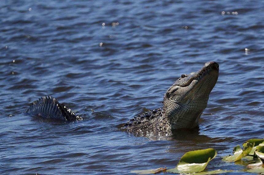 An alligator looks on during  the Arnold Palmer Invitational golf tournament in Orlando, Florida in March, 2017.