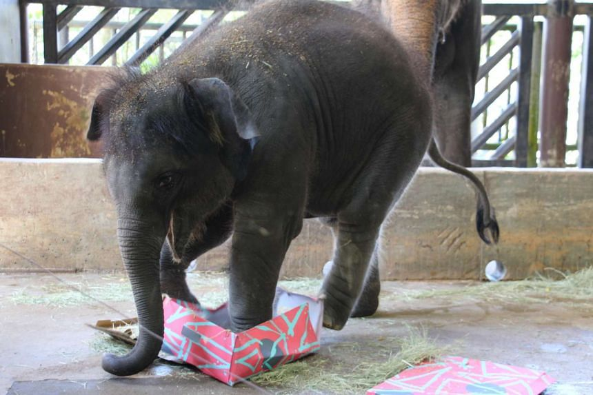Neha, the Night Safari's baby elephant celebrated her first birthday with presents of hay and fruit salad.