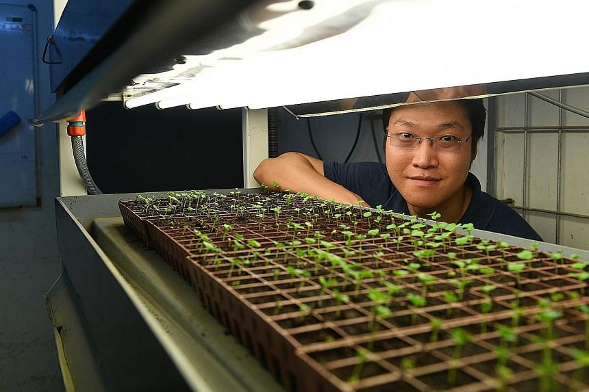 Mr Desmond Khoo, chief executive of Eden Garden Farm, with his multi-tiered farming system. Mr Khoo, who believes farmers should embrace technology, says he can save up to 30 per cent in manpower costs with automation.