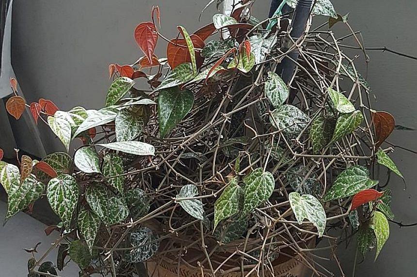 Piper ornatum