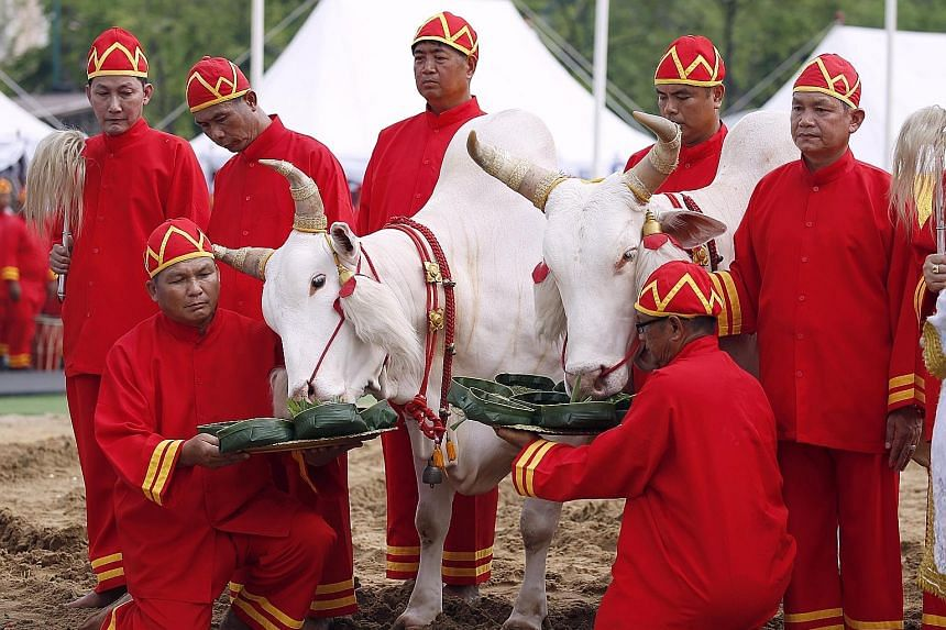 Sacred oxen being offered food during yesterday's ploughing ceremony in Bangkok, where they predicted a bountiful harvest.