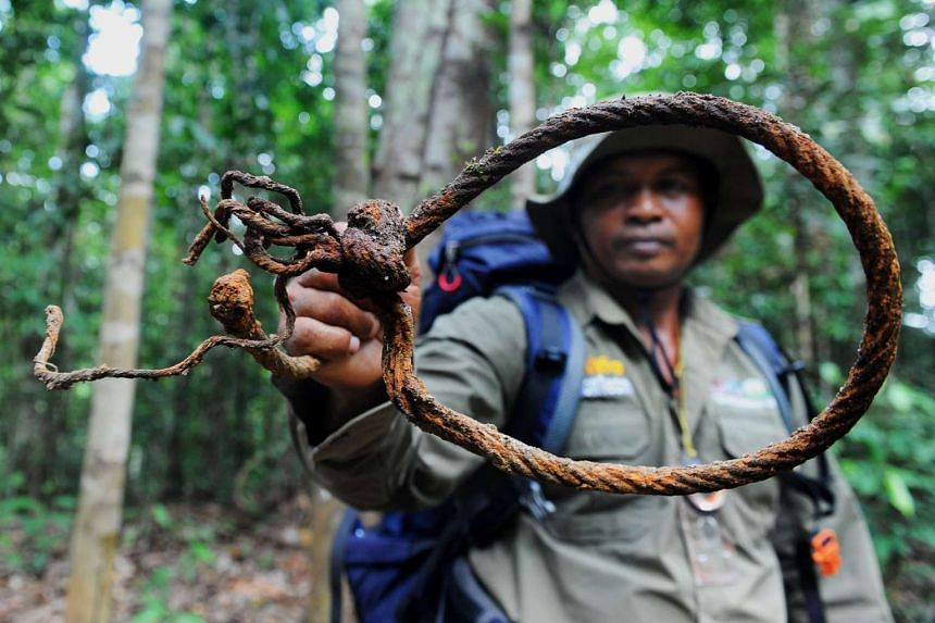 An Indonesian forest ranger with a trap set up by poachers to capture elephants in the Leuser Ecosystem rainforest, located mostly within the province of Aceh on the island of Sumatra.