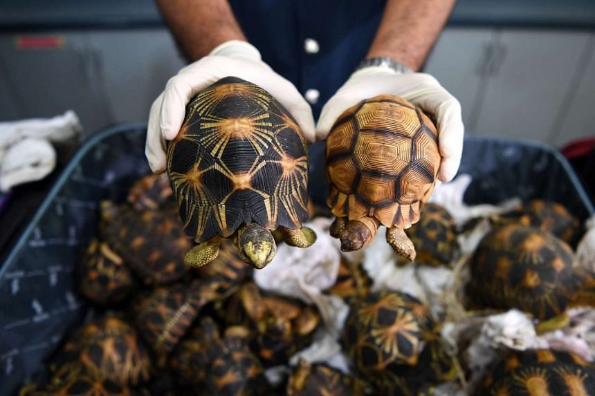 Malaysian customs officials showing endangered ploughshare and radiated tortoises that were seized from smugglers, at a press conference in Sepang on May 15, 2017.