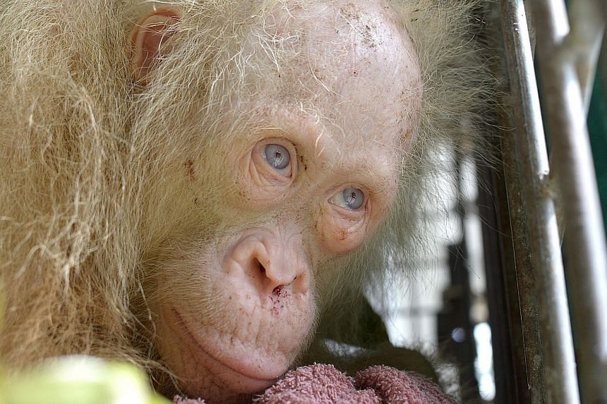 """Albino orang utan Alba was saved from villagers, who were keeping it in a cage on the Indonesian part of Borneo island, last month. The name, which means """"dawn"""" in Spanish and """"white"""" in Latin, was chosen after a global appeal for suggestions was lau"""